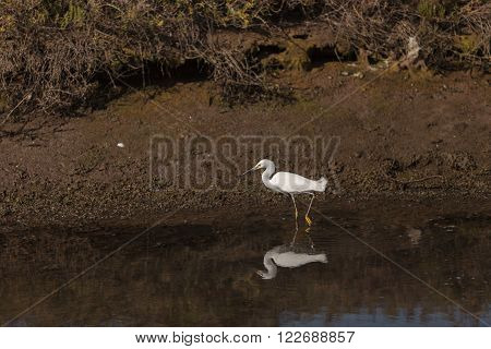 Snowy Egret, Egretta thula, bird forages in a marsh in Huntington Beach, Southern California, United States