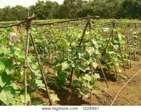 Plantation Of Cucumber