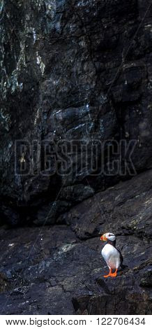 Puffin at Alaska shore - curious colorful bird.