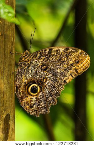Achilles morpho perched vertically on wooden pole