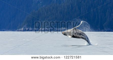Humpback Whale Jumping Out Of The Water At Kenai Fjord National Park, Alaska, Usa