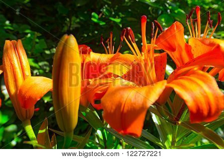 Close up of blooming orange lilies - Lilium bulbiferum