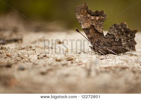 Brown Basking Butterfly