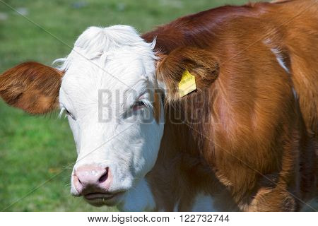 Detail of a white and brown calf looking at the camera