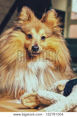 a sheltie dog with a dog toy