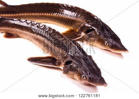Close up view of the fresh small sturgeon fish isolated on white background. Fresh sterlet fish just taken from the water. Sterlet is a small sturgeon farmed and commercially fished for its flesh and caviar.