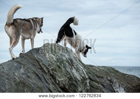 Huskies dogs climbing rocks aboard St Lawrence River in Les Mechins Gaspe Peninsula Quebec