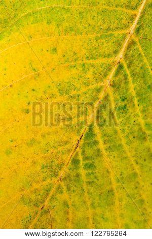 Autumn Walnut Tree Leaf As Background.