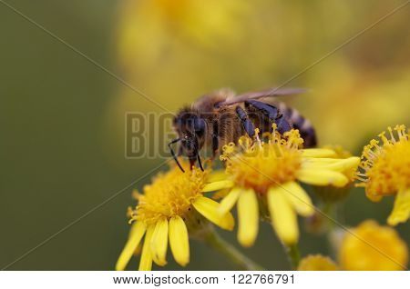 Detail of the honeybee with antheral dust - pollination