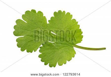 Fresh Coriander leaf coriandrum sativum also called pak chee cilantro and chinese parsley.