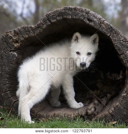 Young, grey wolf pup climbing into a hollowed log, then, looking over its shoulder. Square image.