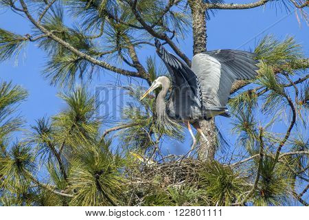 Heron carries stick in beak in the tree in Fernan, Idaho.