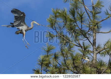 Heron flies in with stick for nest near Fernan, Idaho.