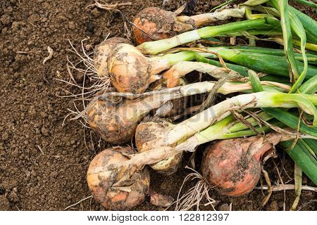 Freshly dug onion bulbs on the ground ** Note: Shallow depth of field