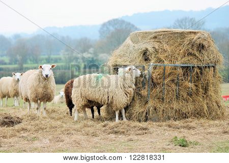Sheep eating winter fodder feed odd one out black