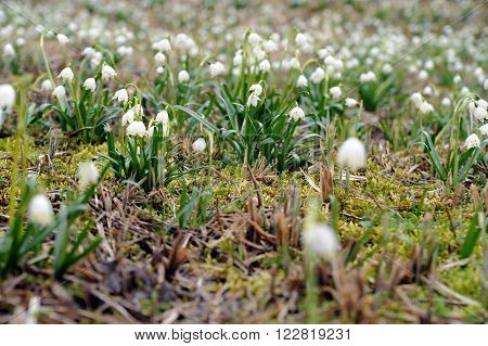 white spring snowflakes blooming on a meadow