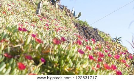 Beach flowers in san Clemente california on a hill ** Note: Visible grain at 100%, best at smaller sizes