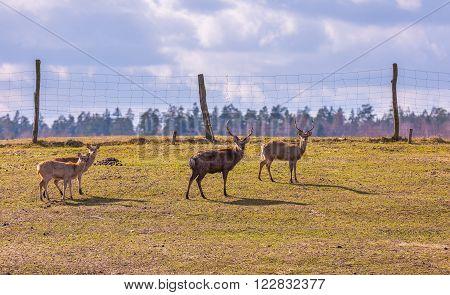 Dybowski deer (Sika deer) photographed in animal park.