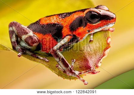 Red poison dart frog from tropical jungle of Panama. A beautiful amphibian from Panamanian rain forest, Oophaga pumilio. A poisonous animal from the region of Rio Branco.