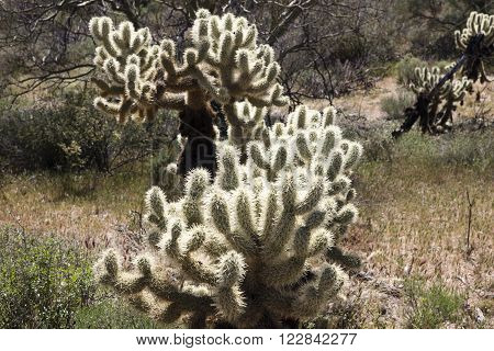 Cholla cactus or Jumping-Cholla in the Sonoran Desert of the Southwestern USA