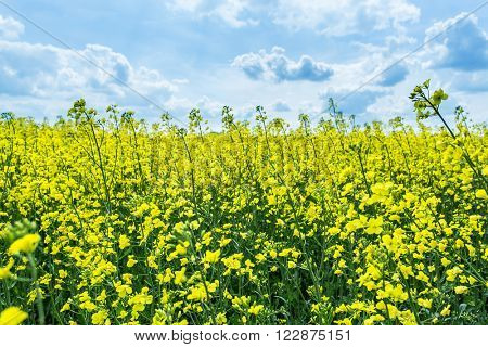 Field of rape seed plants and blue sky on the background.