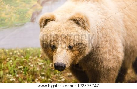 A Kodiak Bear Close by a river