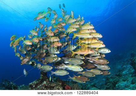 Fish school on coral reef underwater (Yellowfin Goatfish and snappers)