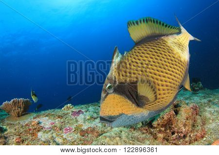 Titan Triggerfish on underwater coral reef