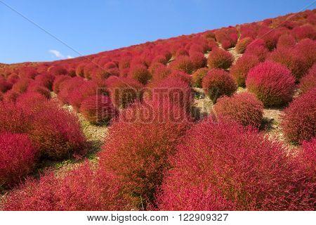 Beautiful kochias hill in autumn season at Hitachi seaside park Ibaraki prefecture Japan