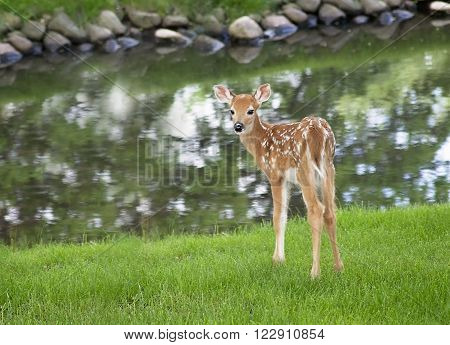 Close up image of a white-tailed deer fawn near a pond, looking over its shoulder.  Soft focus.