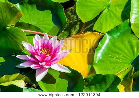 One Flower Pink Water Lily In A Pond Closeup