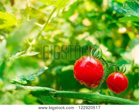 Fresh cherry tomato and the water dew