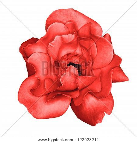 Red Rose Flower Macro Isolated On White