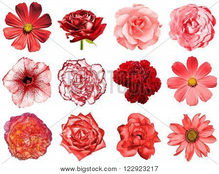 Mix Collage Of Natural And Surreal Red Flowers 12 In 1: Peony, Dahlia, Primula, Aster, Daisy, Rose,