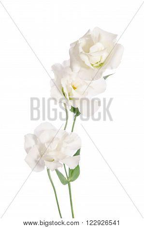 Beauty White Flowers  Isolated On White. Eustoma