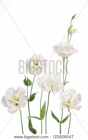 Beautiful Eustoma Flowers Isolated On White Background