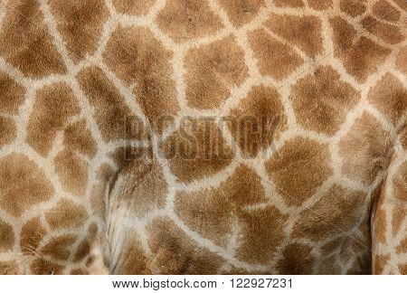 beautiful Giraffe (Giraffa camelopardalis) skin for background use