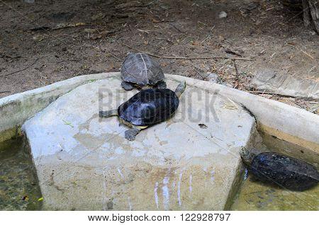 beautiful Asian Box Turtle (Cuora amboinensis kamaroma) in Thai temple
