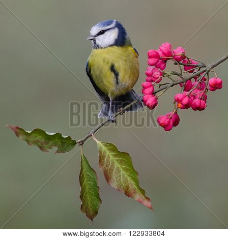 A Blue Tit posing on Spindle Berries.