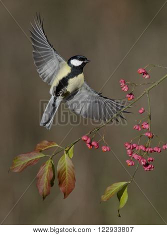 A Great Tit flying past spindle berries,