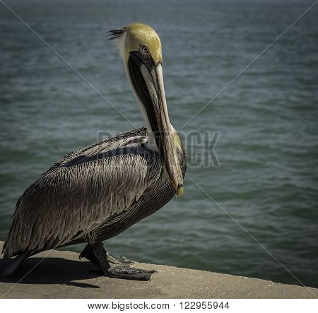 Pelican standing on a cement walk at water's edge