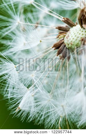Dandelion inside close up photography in spring ** Note: Shallow depth of field