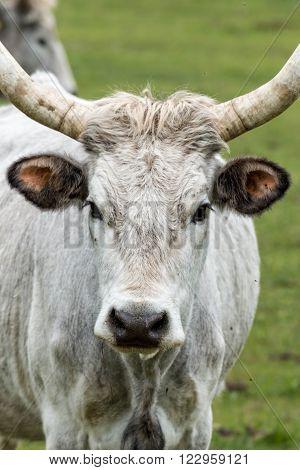 Beautiful hungarian grey bull portrait on the pasture
