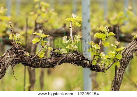 Fresh leaves from grape wine in spring ** Note: Shallow depth of field