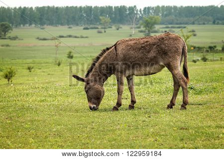 Young donkey grassing on the green field