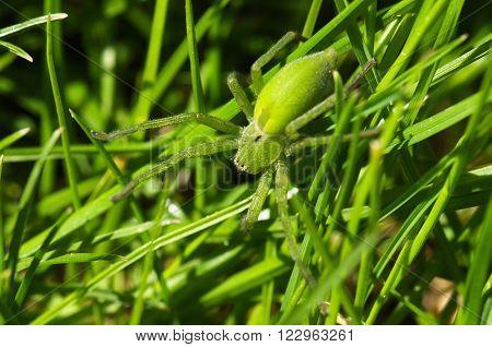 Huntsman Spider, Dorsal View - Micrommata Ligurina