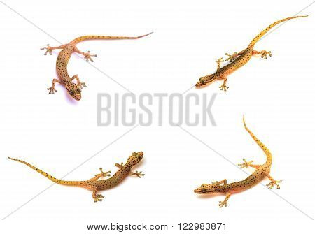 set of Gecko lizard from trpical forest isolated on white background, Hemiphyllodactylus sp