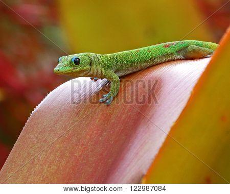 A Golddust Day Gecko (Phelsuma laticauda) poised to disappear among bromeliad (aechmea blanchetiana) leaves.
