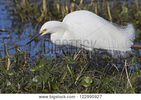Snowy Egret Foraging In A Florida Marsh