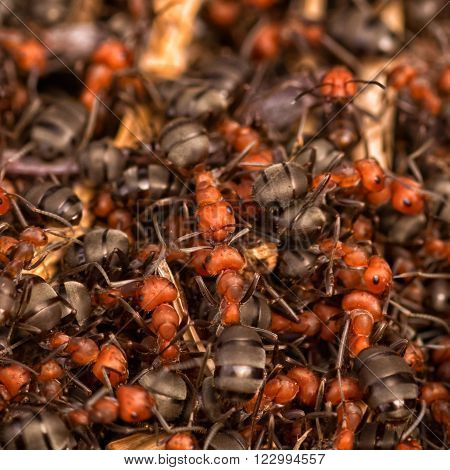 Macro of a pile of red and black ants.